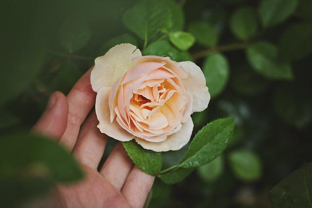 rose-691996_640