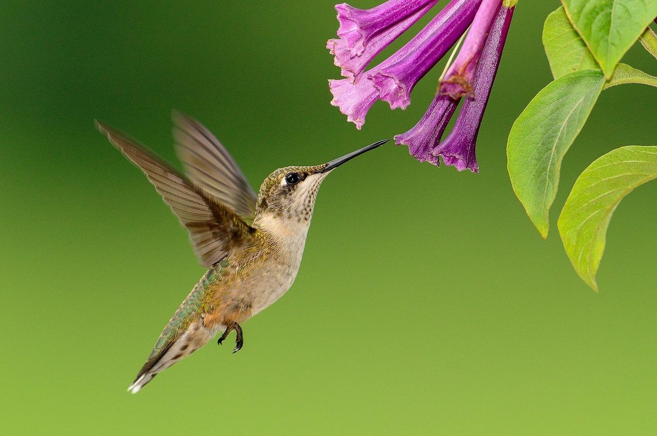 hummingbird-1056383_1280